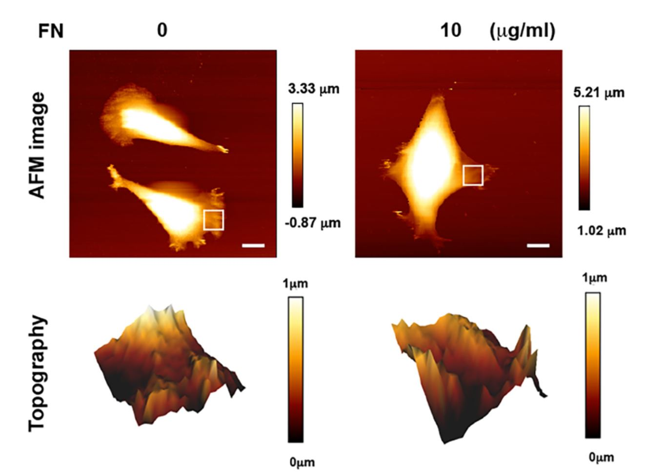 "Supplementary Figure S1 from Chao-Hung Chang et al. ""Substrate properties modulate cell membrane roughness by way of actin filaments"": Images of membrane topography determined by atomic force microscopy (AFM). MEFs were seeded on the polymer coverslip-bottom μ-dishes coated with 0 or 10 μg/ml FN for 6 hours for the measurement of membrane roughness by AFM. The regions marked by the white squares in the bright-field images are displayed in the membrane topography. Scale bar, 10 μm. NANOSENSORS uniqprobe qp-SCONT AFM probes(long cantilever length 125 um, spring constant 0.01 N/m) were used."