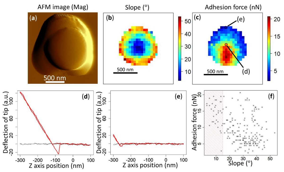 Figure 2 from «Direct Measurement of Adhesion Force of Individual Aerosol Particles by Atomic Force Microscopy» by Kohei Ono et al: Atomic force microscopy (AFM) mag image (a), slope mapping (b), and adhesion force mapping (c) obtained from the same 1 μm PSL particle. Representative force–distance curves are shown for the point at which the tip is properly in contact with the surface with sufficient stroke (loading force), at the proper angle (d) and for the point further towards the edge where the tip is barely touching the surface at a steep angle (e). The black lines in panels (d) and (e) show the baseline in which the tip did not touch the particle or substrate. A plot of the relationship between the slope and the adhesion force is shown in panel (f). The plots in the shaded area are considered to represent the adhesion force of the particle.
